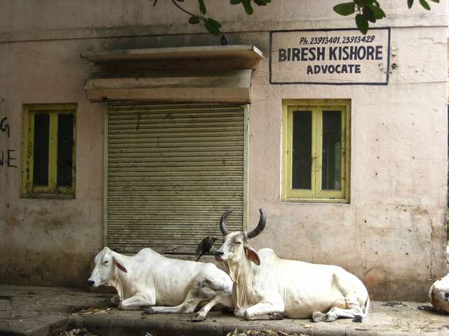 Nonchalant cows on every street corner