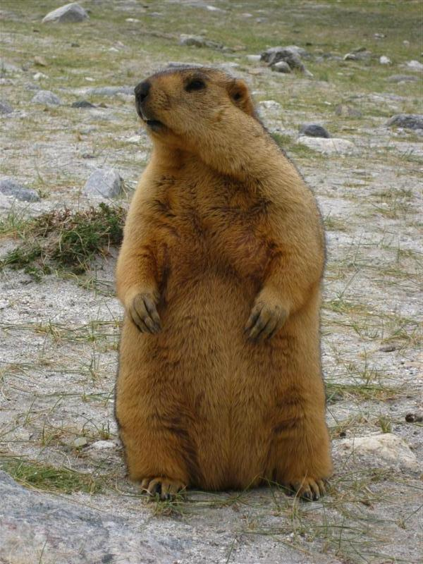 Now heres a real Munchkin. Marmots are amazing little fellows choosing to live only above 4000m. They delighted me whenever the roads got high. I thought of names for them: Milo, Molly, Marmelade and Marmite. A good start, so I thought.