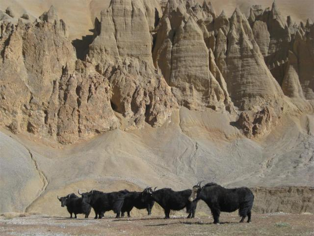 Ubiquitous yaks hanging out in surreal landscapes
