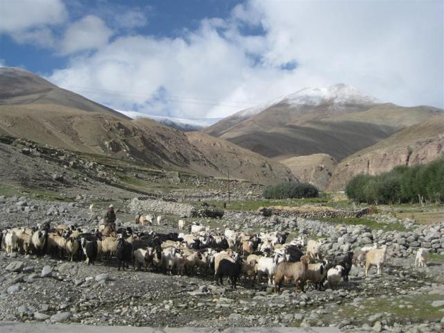 Sheepies going out to graze at Gya village.