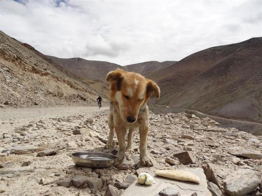 Rumi dog almost at the top of the Taglang-la pass (5300m) snacks on an egg. He