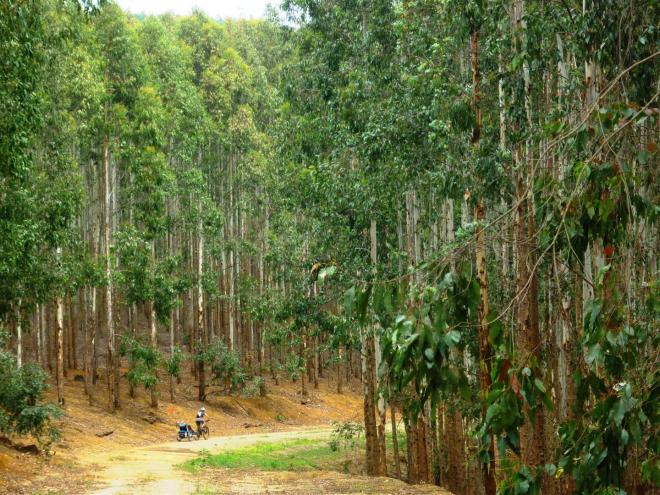 Cycling through the eucalyptus and pine plantations
