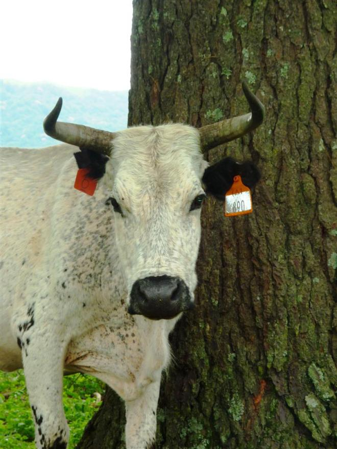 Hello to the nguni cows.
